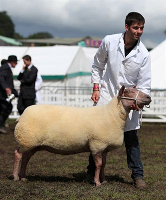 Will Price with the Supreme Sheep Champion, a British Rouge ewe, owned by Percy Tait of Worcester