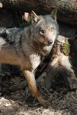 BZ Iberian Wolves arrived in 2012