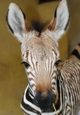 BZ Benni the Zebra foal close up 2