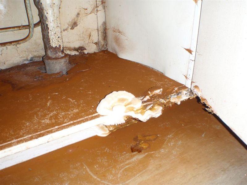 Bild hussvamp