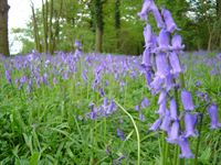 Bluebells at Hoveton Hall Gardens