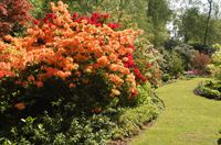 Azaleas at Hoveton Hall Gardens