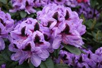 Rhododendron Metallica