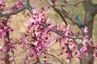 Cercis Ruby Falls flowers