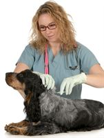 A vet microchipping an English cocker spaniel