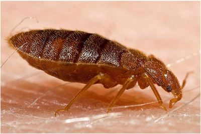 Bedbug After Feeding