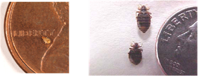 Bedbug Size Comparison