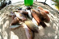 Daily Catch From The Coast of Sanctuary Caye