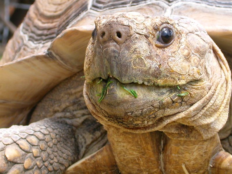 Don T Buy Sulcata Tortoises Giants Overwhelm U S