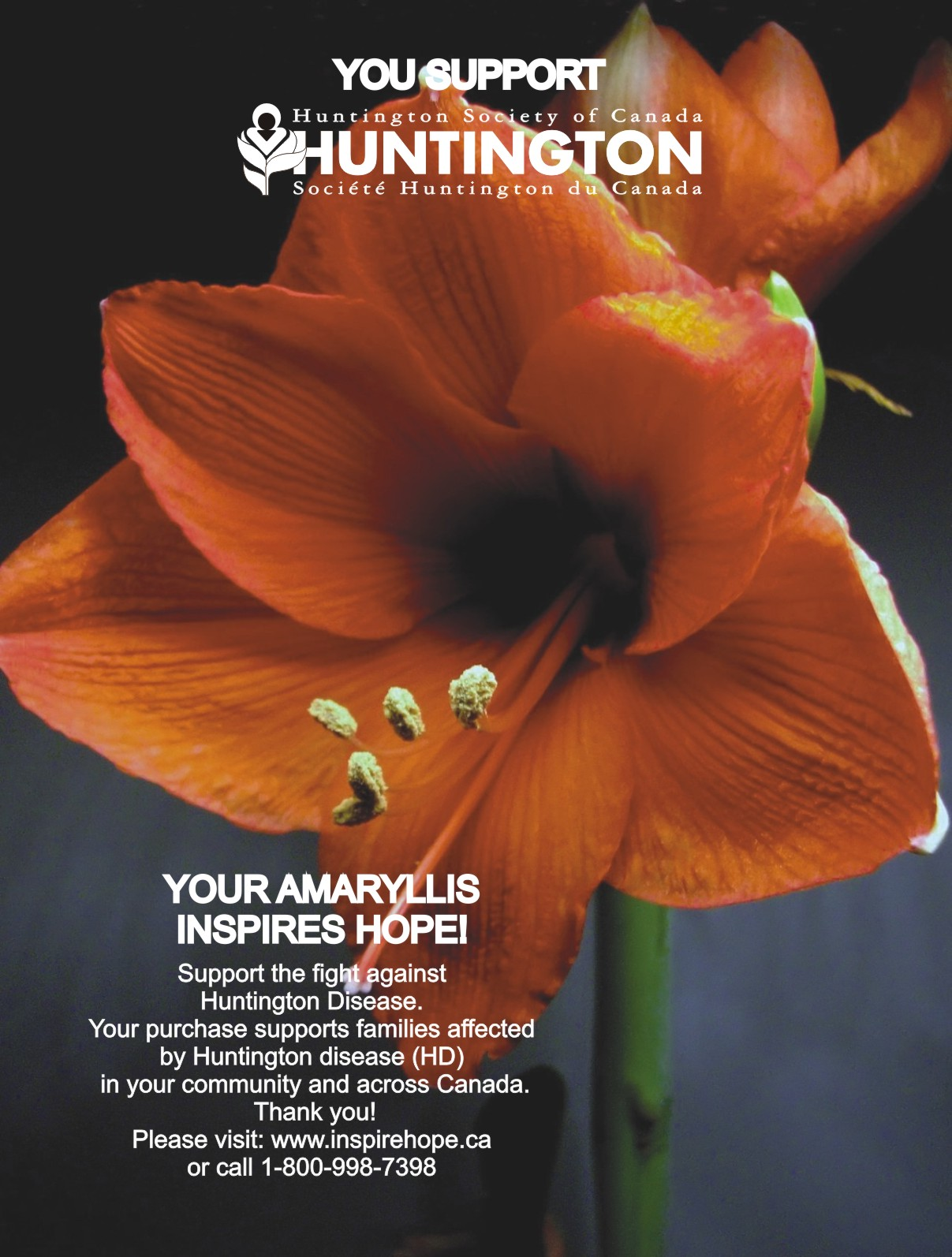 The huntington society of canada s amaryllis campaign for The huntington