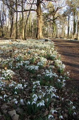 Snowdrops at Hoveton Hall