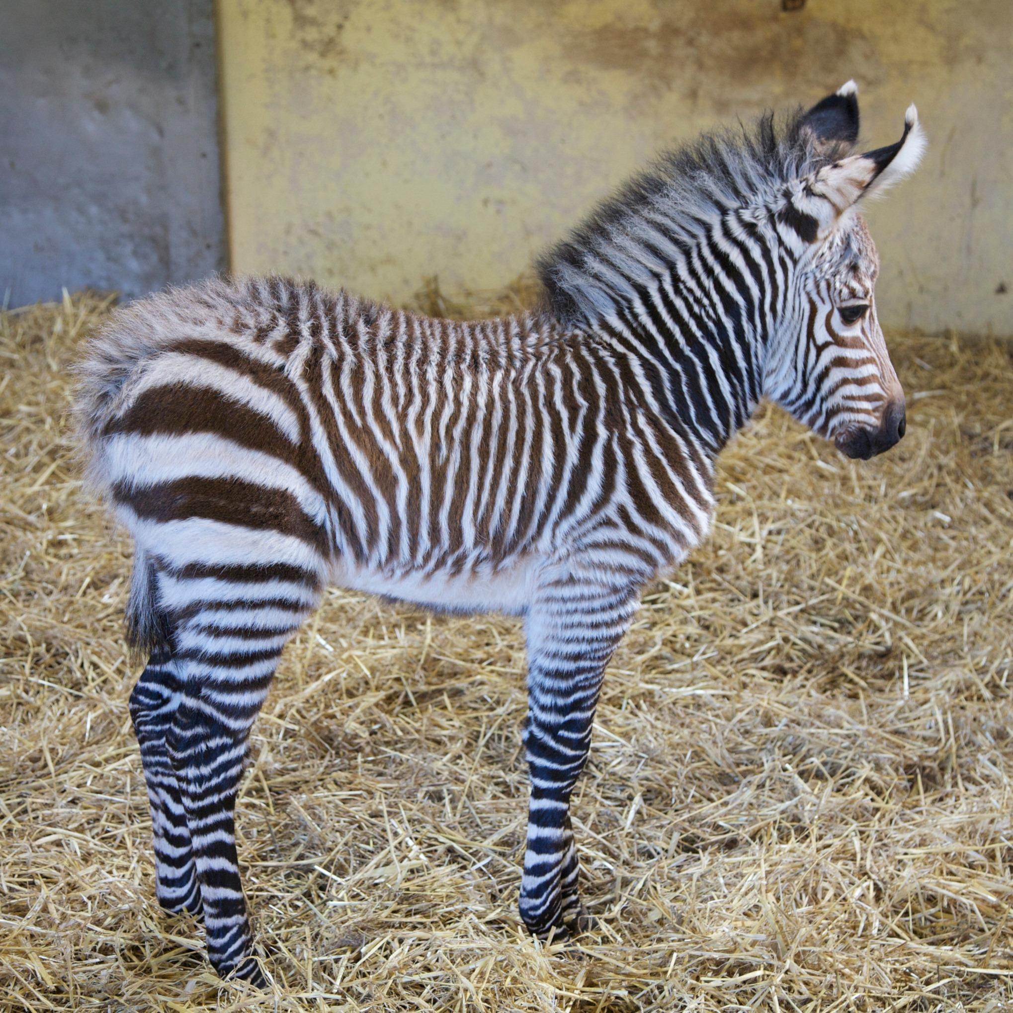 Zebra foal seven - ICG PR