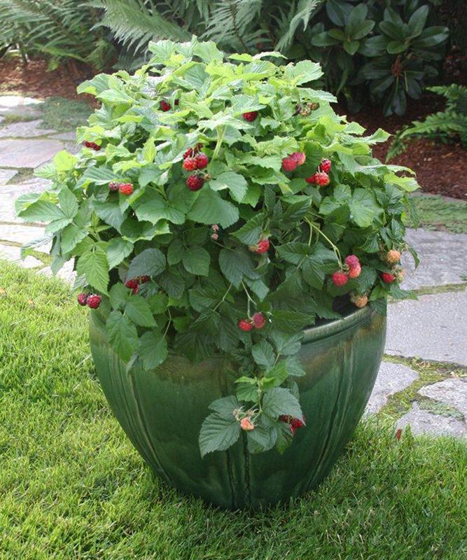 The Health Conscious Gardener Will Love This Thornless Dwarf Raspberry  Plant, Which Produces Full Size Berries During The Summer. The Compact  Shape Means A ...