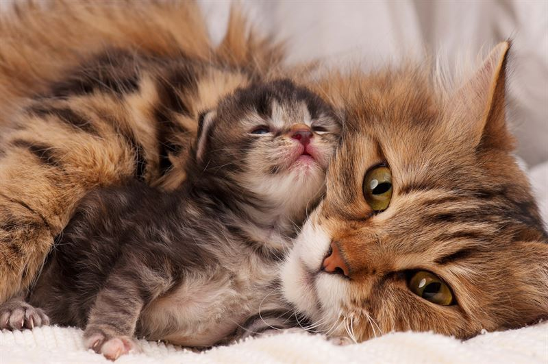 Kissanpentu emonsa kanssa