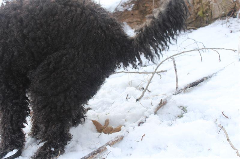 Kevn tullen lumeen hautautuneet koirankakat tulevat esiin