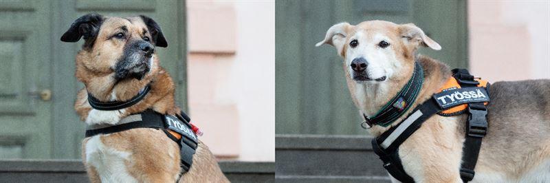 Etsijkoirat Sara ja Santtu ovat auttaneet monia lemmikkej takaisin omistajiensa luo