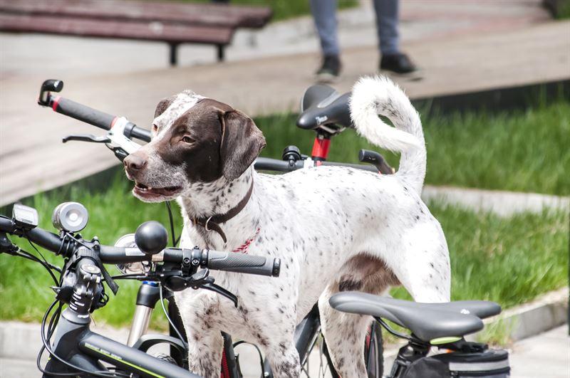 Koiranulkoiluttajien ja pyrilijiden on hyv huomoida toisensa liikenteess