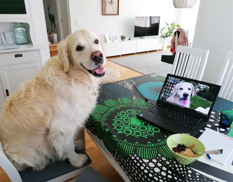 Koirat ovat olleet omistajiensa tukena koronaaikana muun muassa piristmss ettypivi