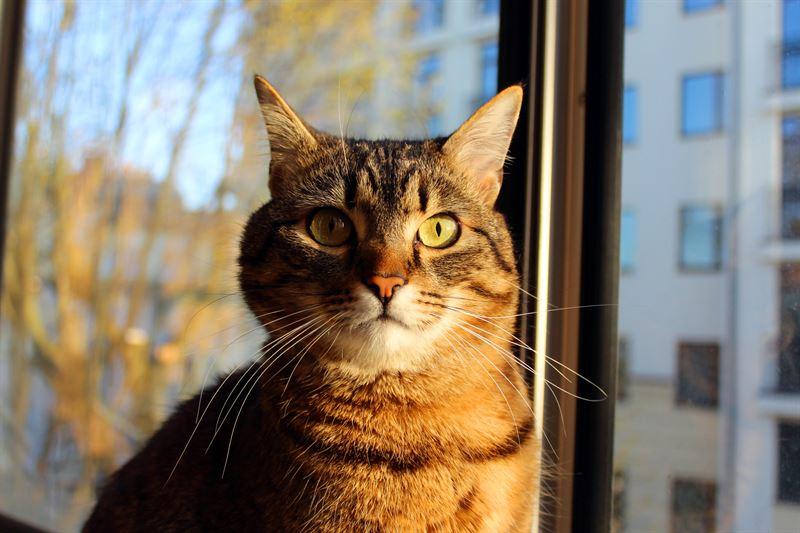 Moni kissa tarkkailee ympristn mielelln joltain yltasolta kuten ikkunasta
