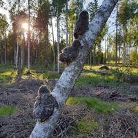Ungar av lappuggla i skog med naturvårdande skötsel där gran gallrats bort bort för att ge lövträd mer luft och ljus. Foto Mikael Rhönnstad