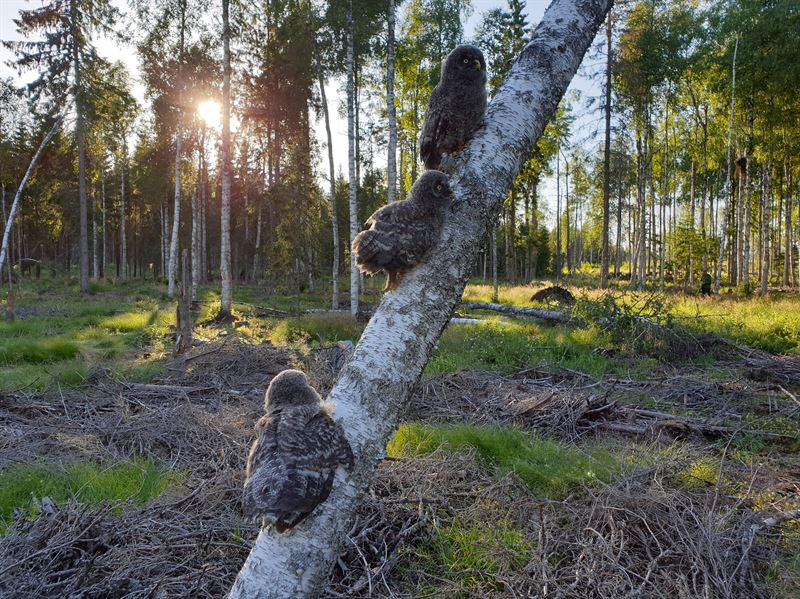 Ungar av lappuggla i skog med naturvrdande sktsel dr gran gallrats bort bort fr att ge lvtrd mer luft och ljus Foto Mikael Rhnnstad