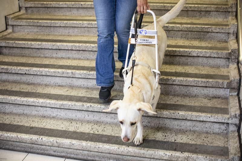 En ledarhundsfrare p vg nerfr en trappa i kollektivtrafiken