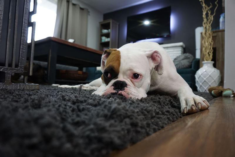 Hund alene hjemme