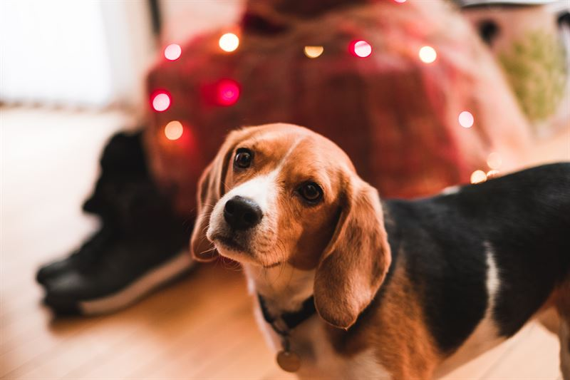 Hund str foran julelys