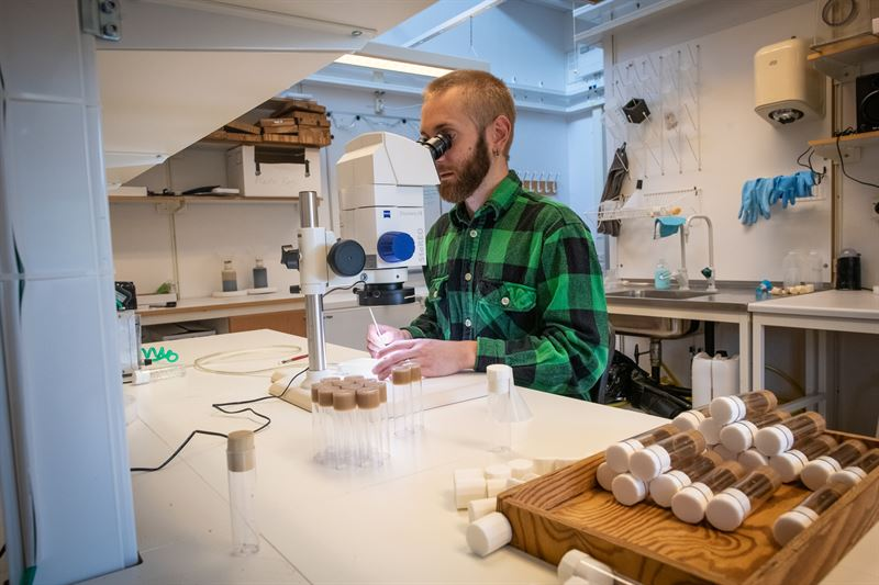 Martin Iinatti Brengdahl undersker bananflugor i ett mikroskop