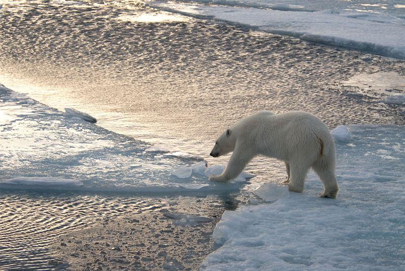 Isbjrn p isflak tagen p Spetsbergen