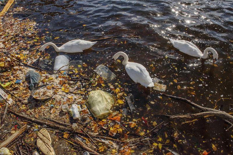Svanar simmar i plast
