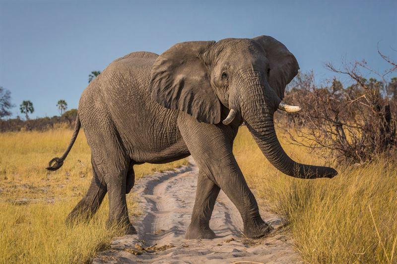 Afrikansk elefant r en av de hotade arter som finns vid Vrldsarvet i Selous Tanzania bla