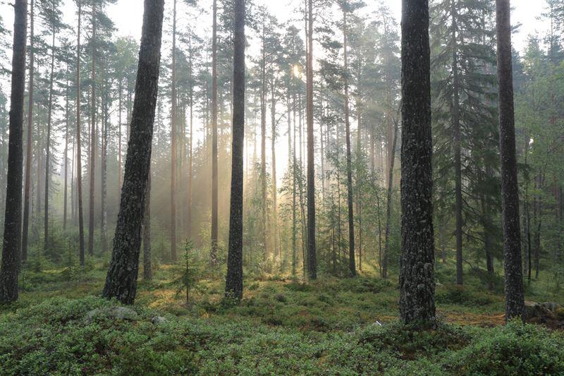 Svensk skog i dimma