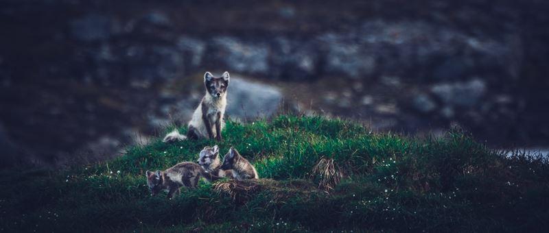 Fjllrvsfamilj i Vindelfjllen 2019