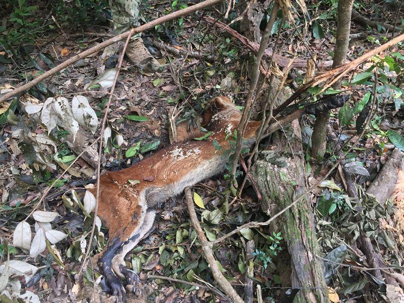 Asiatisk vildhund som fastnat och dött i en av de många olagliga snaror som sätts upp i skyddade områden i Sydostasien. Detta vill WWF få stopp på.
