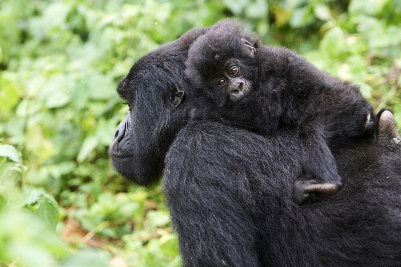 Gorillahona med unge i Virunga Nationalpark