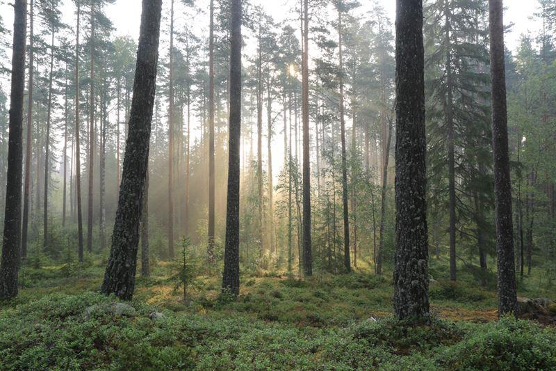 Dimmig svensk skog