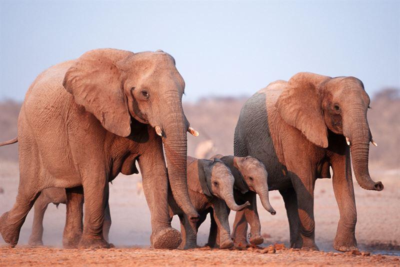 Elefantfamilj Savannelefant Loxodonta africana