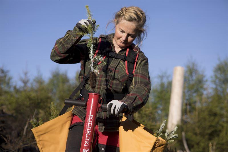 Plantering av Södraplantan med mekaniska skyddet Cambiguard. / Planting of seedling protected with the mechanical insecticide Cambiguard.