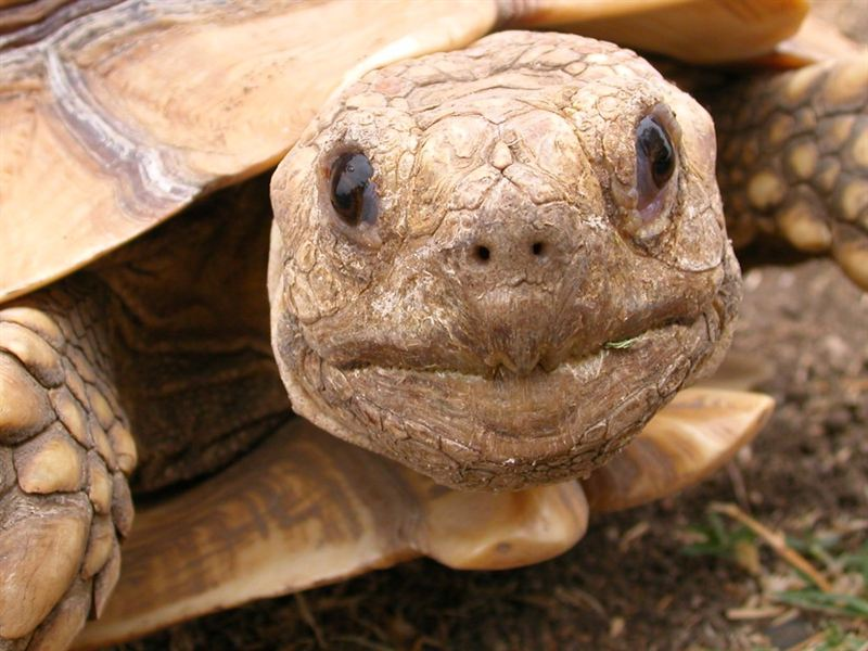Just Get A Sulcata Tortoise? Here's How to Care for It