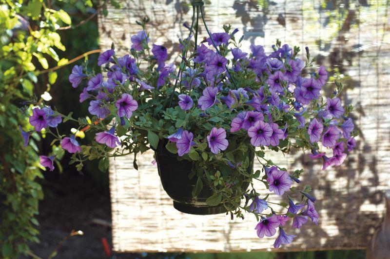 Lavendel plantasjen. MIN VILLAHAGE: Sneglegjerde 2019-12-01